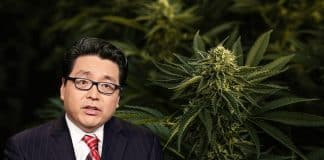 Marijuana Stock Sell-off Brings the Dotcom and Bitcoin Bubble to Tom Lee's Mind