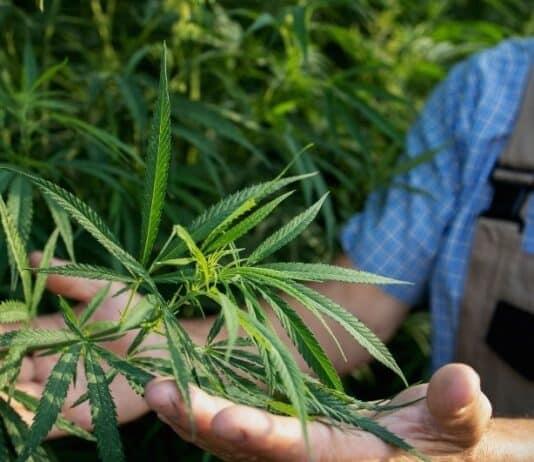 Medical Marijuana Sells High